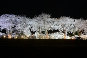 2019桜まつり (1)