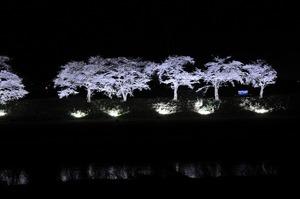 2019桜まつり (5)