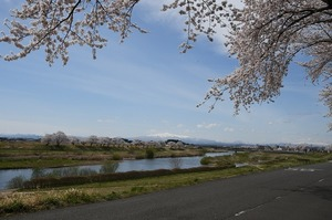 2019桜まつり (7)