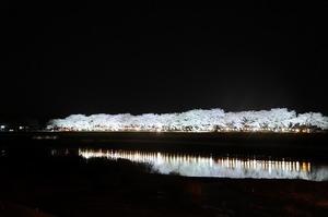 夜桜ライトアップ_1